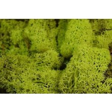 LIGHT GREEN LICHEN 250g